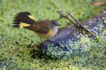 American redstart display
