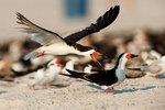 Black skimmer lands in colony
