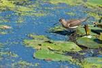Solitary sandpiper foraging on mid-September pond