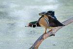 Wood duck stretch