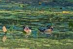 Male wood ducks in early October