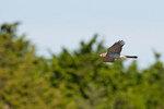 Cooper's hawk cruising along tree line