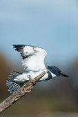 Male belted kingfisher vacating perch