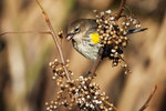 Autumn yellow-rumped warbler feeding on poison ivy berries