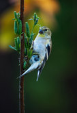 American goldfinch in late October feeding on evening primrose seeds