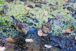 Two yellow-rumped warblers on late October pond