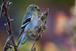 American goldfinch foraging on evening primrose seed head in late October
