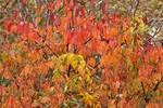Black cherry foliage in late October