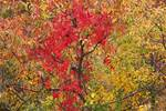 Late October colors with virginia creeper