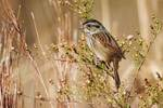 Swamp sparrow foraging on seeds during autumn migration