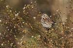 Song sparrow foraging in early November