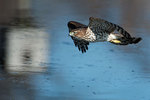 Hunting juvenile Cooper's hawk