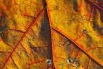 Back-lit Oak Leaf in late November showing leaf pigments