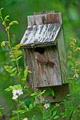 House wren at nest box in spring