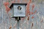 Juvenile barn owl in nest box