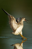 Lesser yellowlegs landing on pond