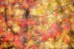 Sweet gum foliage in autumn