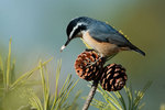 Red-breasted nuthatch with pine seed