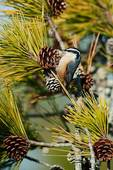 Red-breasted nuthatch foraging on pine cones
