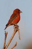 Male red crossbill on perch