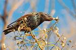 European starling in winter plumage