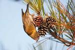 Female white-winged crossbill foraging on pine cones