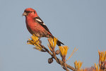 Male white-winged crossbill on pine
