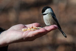 Black-capped chickadee feeding from hand