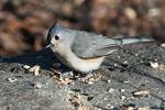 Tufted titmouse at feeding station