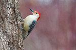 Red-bellied woodpecker foraging, male