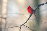Northern cardinal in winter light
