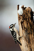 Male downy woodpecker foraging