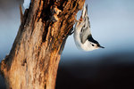 White-breasted nuthatch foraging
