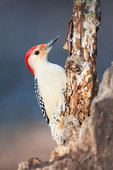 Male red-bellied woodpecker close-up