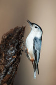 White-breasted nuthatch portrait