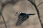 Male hairy woodpecker in flight