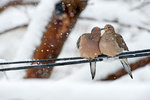 Allow preening mourning doves in snow storm