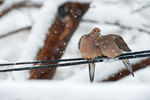 Mated pair of mourning doves