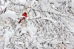 Male northern cardinal in snowscape