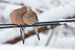 Mated mourning doves