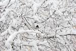 Dark-eyed Junco in snow scape