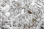 White-throated sparrow in snow scape
