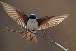 Tree swallow landing