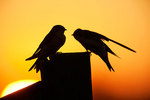 Tree swallows at dawn