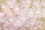 Lilac blossom abstract