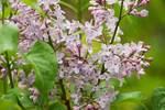 Lilacs in spring