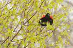 Red-winged blackbird display in newly-leafed grey birch
