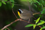 Common yellowthroat during spring migration