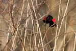 Red-winged blackbird vocalizing from thicket