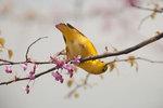 Female yellow warbler foraging on redbud